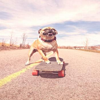 Funny Pug Pictures | Cute Pugs Funny Funny Pug Pictures    | Cute Pugs Funny - Pug is a good family