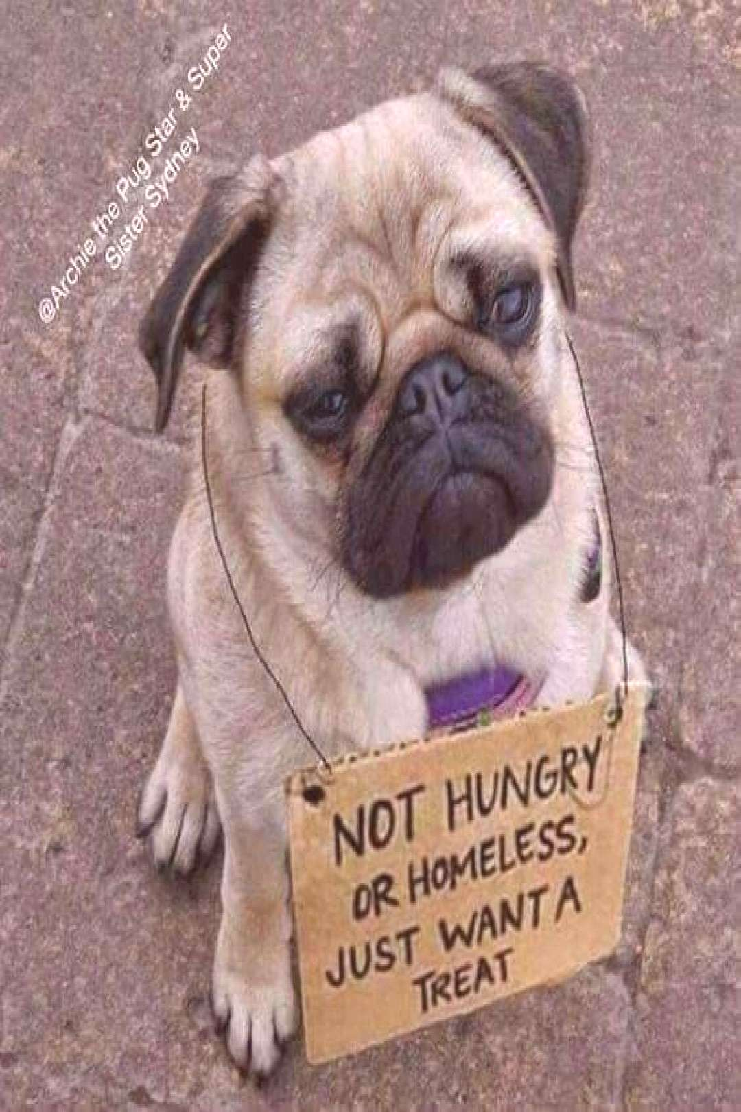 Best Funny Pug Pictures images Click The Link for watching more funny and cute pug puppies video.