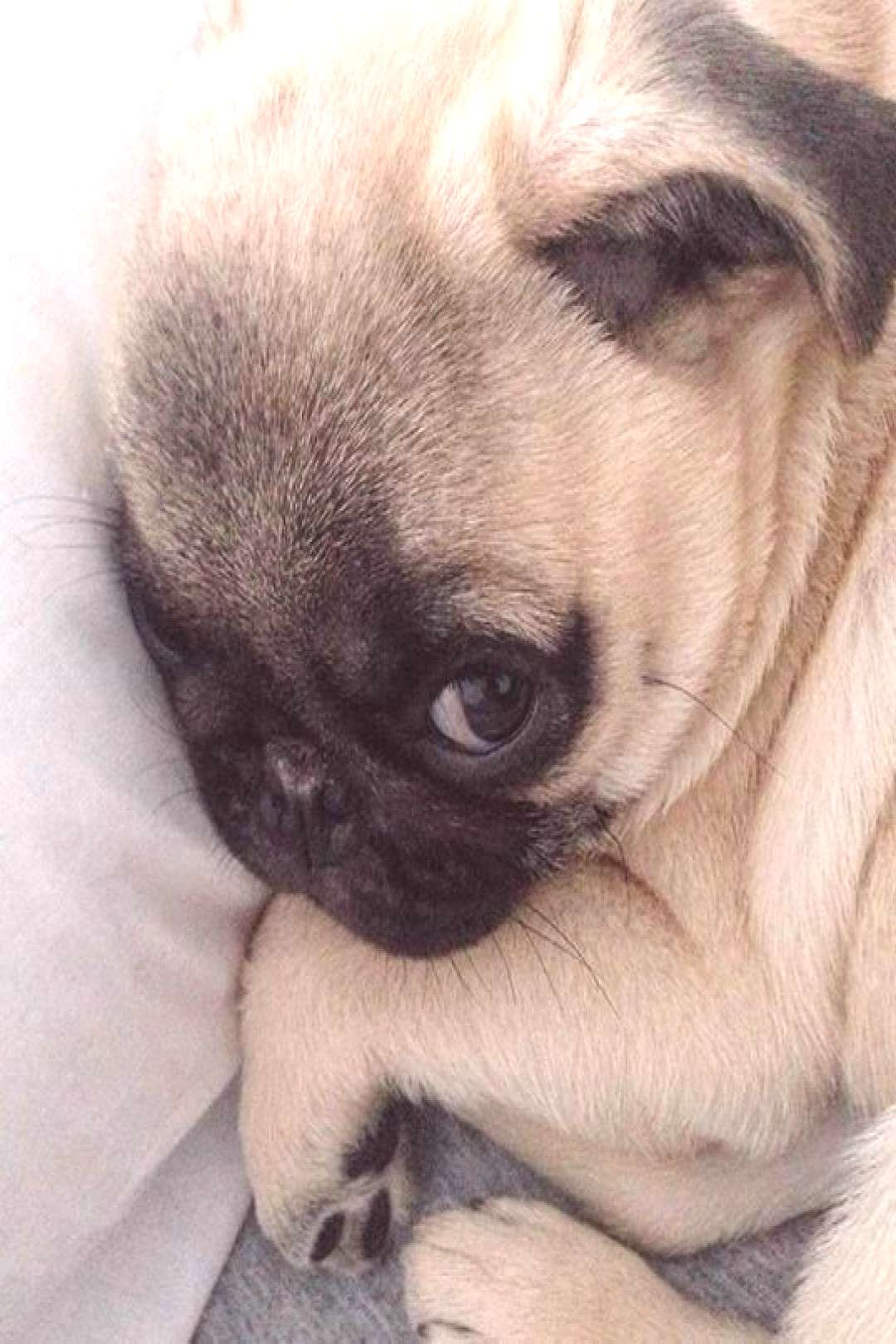 Fantastic funny pugs info is readily available on our site. Read more and you wont be sorry you did