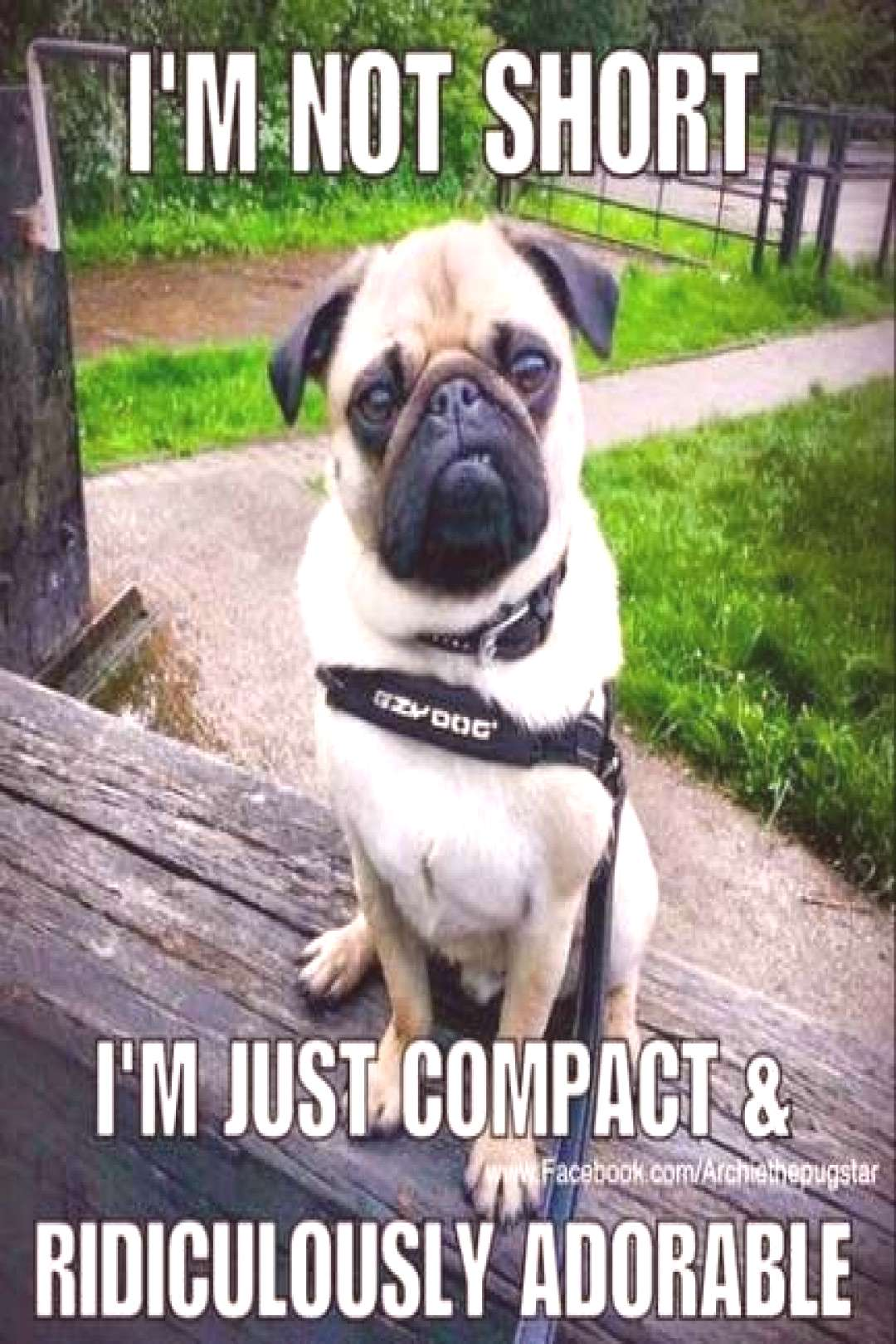 Trendy dogs funny pug smile 64 ideas Trendy dogs funny pug smile 64 ideas