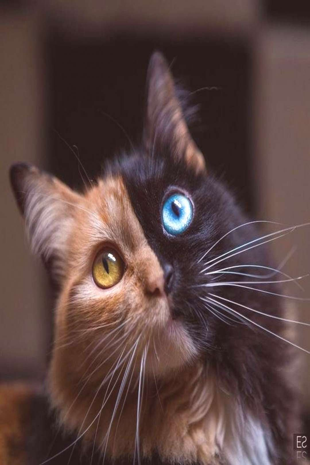 Watch out Venus, there's a new two-face in town! This is Quimera, a gorgeous gata from Argentina